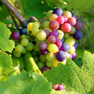 Bunch & Seedless Grape Vines