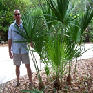 Saw Palmetto Palm Tree